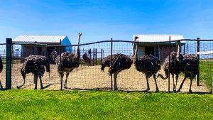 Striegel Acres Ostriches
